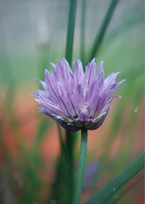 Flowers Greeting Card featuring the photograph Chive flower by Lisa Gabrius