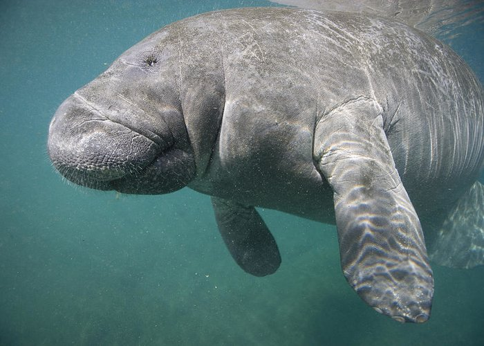 Florida Greeting Card featuring the photograph Close View Of A Manatee by Nick Norman