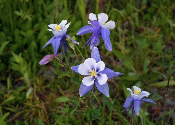 Colorado Greeting Card featuring the photograph Colorado Columbine by Steve Stuller