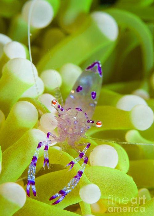Pontoniinae Greeting Card featuring the photograph Commensal Shrimp On Green Anemone by Steve Jones