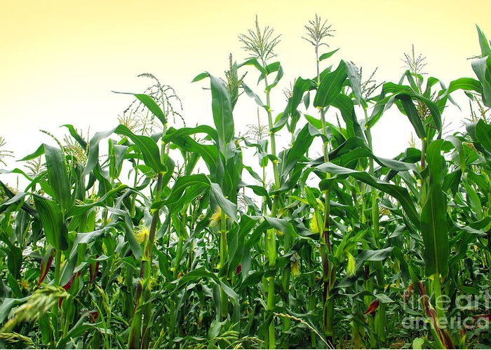 Agriculture Greeting Card featuring the photograph Corn Field by Carlos Caetano