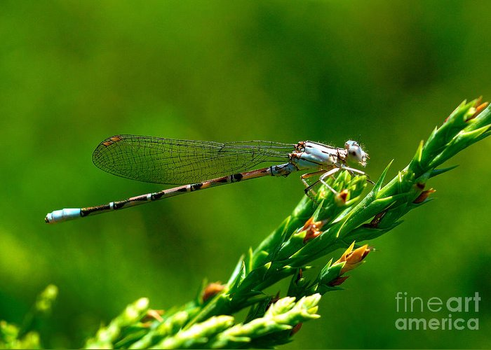 Damselfly Greeting Card featuring the photograph Damselfly by Marc Bittan