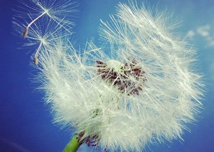 Dandelion Greeting Card featuring the photograph Dandelion And Blue Sky by Matthias Hauser