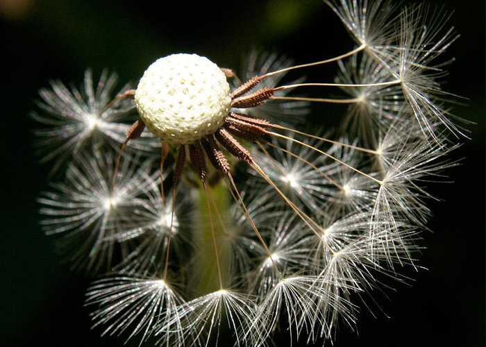 Dandelion Greeting Card featuring the photograph Dandelion by Ralph A Ledergerber-Photography
