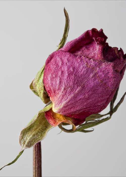 Dried Floral Still Life Greeting Card featuring the photograph Dried Rose 2 by Robert Ullmann