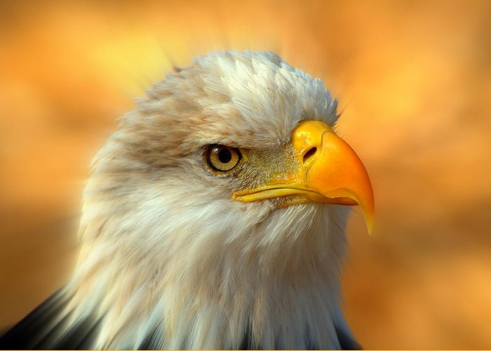 American Bald Eagle Greeting Card featuring the photograph Eagle 10 by Marty Koch