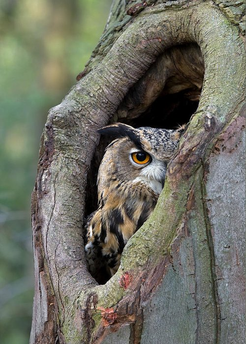 Fn Greeting Card featuring the photograph Eurasian Eagle-owl Bubo Bubo Looking by Rob Reijnen