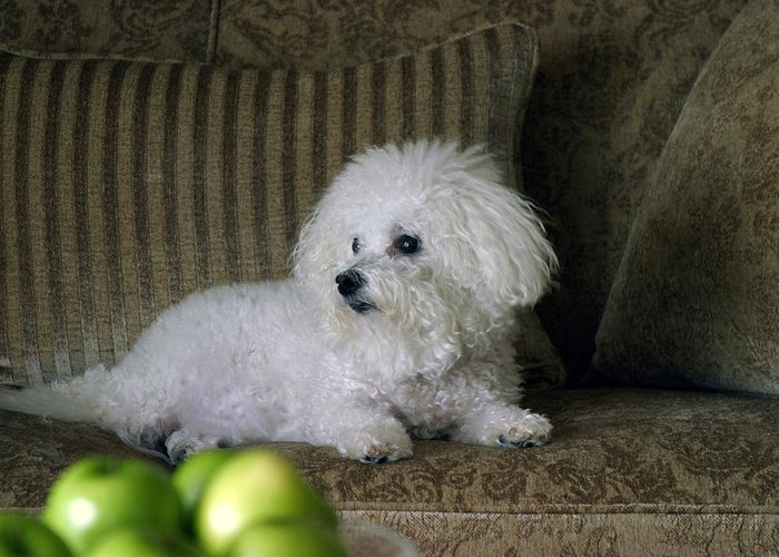 Animal Greeting Card featuring the photograph Fifi The Bichon Frise by Michael Ledray