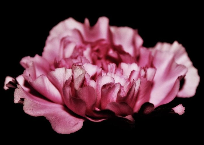Carnations Greeting Card featuring the photograph Floating by Cathie Tyler