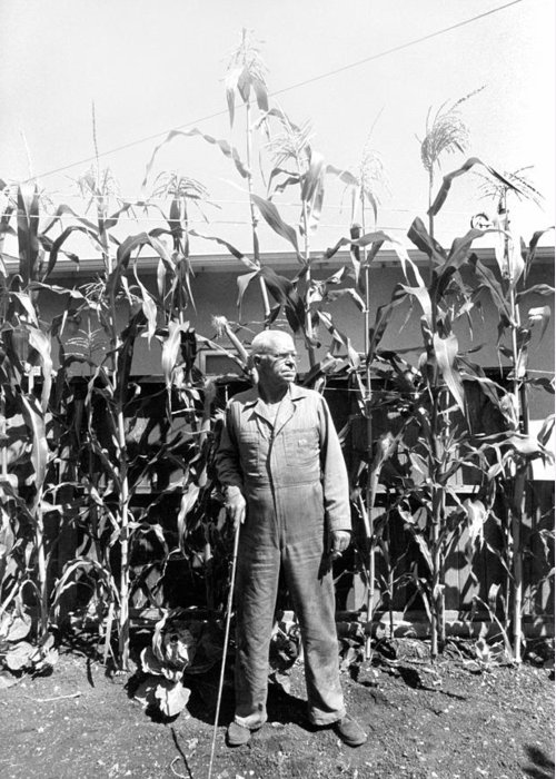 Corn Greeting Card featuring the photograph Giant Corn Man by Gerhardt Isringhaus