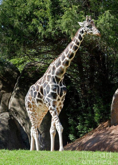 West African Giraffe Greeting Cards
