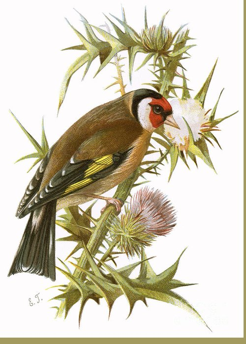 Finch Greeting Card featuring the painting Goldfinch by English School