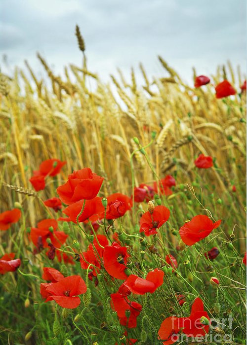 Poppy Greeting Card featuring the photograph Grain And Poppy Field by Elena Elisseeva