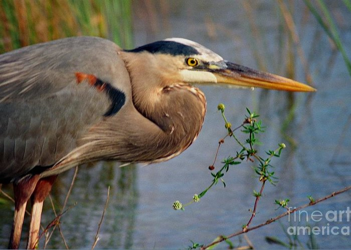 Bird Greeting Card featuring the photograph Great Blue by Jill Pearson