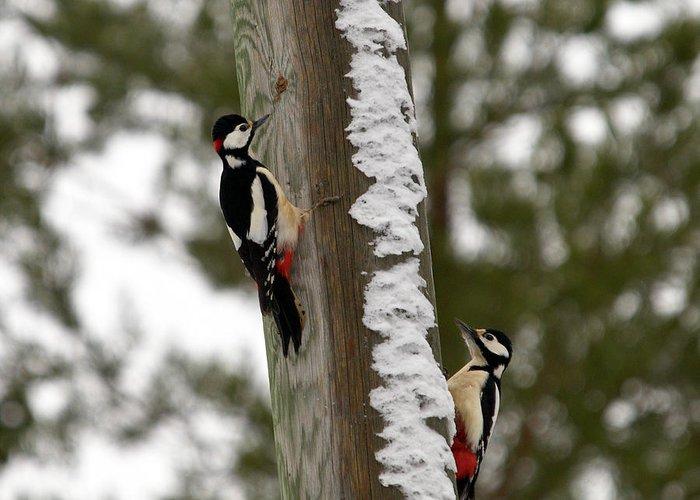 Lehtokukka Greeting Card featuring the photograph Great Spotted Woodpeckers by Jouko Lehto