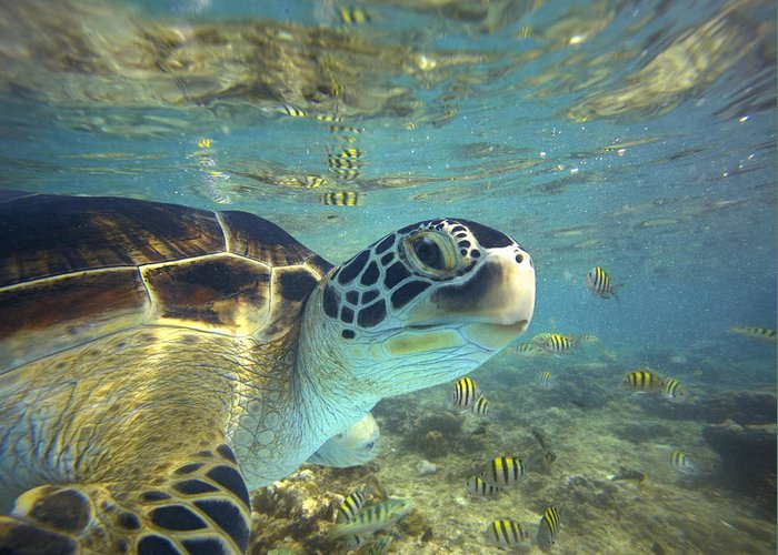 00451417 Greeting Card featuring the photograph Green Sea Turtle Balicasag Island by Tim Fitzharris