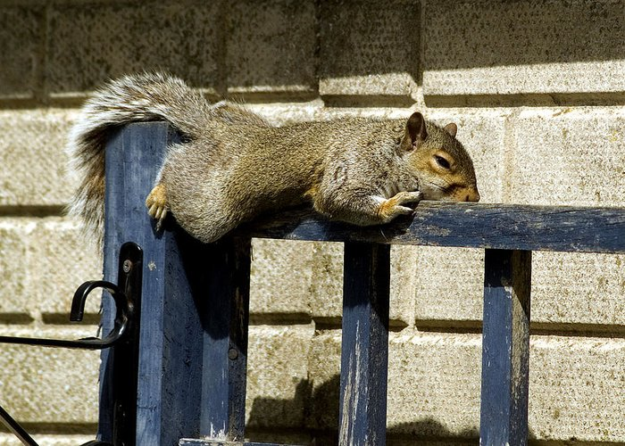 Adorable Greeting Card featuring the photograph Grey Squirrel by Mike Lester