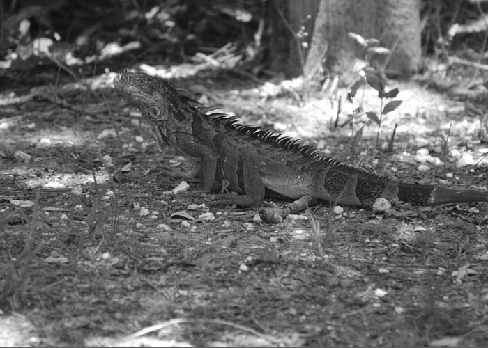 Black And White Greeting Card featuring the photograph I Iguana by Rob Hans