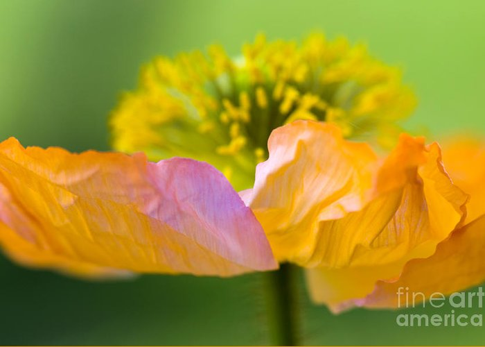 Flower Greeting Card featuring the photograph Iceland Poppy by Silke Magino
