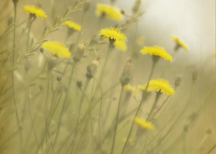 Dandelions Greeting Card featuring the photograph In The Mist by Rebecca Cozart