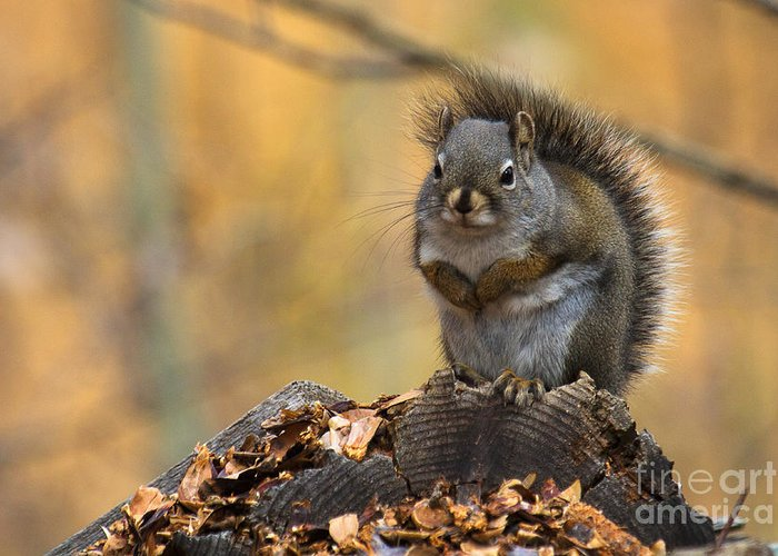 Squirrel Greeting Card featuring the photograph In The Pines by Jim Garrison