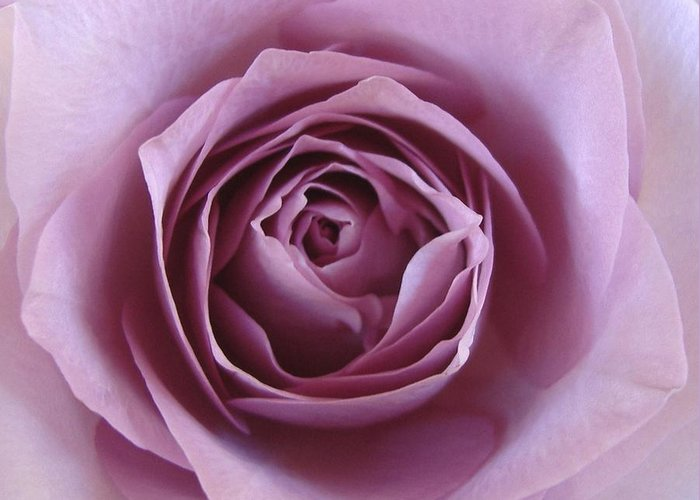 Lavender Greeting Card featuring the photograph Lavender Of Rose by Jacqueline Migell