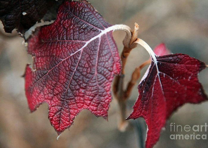 Fall Greeting Card featuring the photograph Leaves by Amanda Barcon