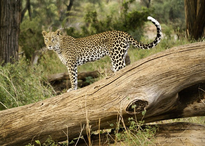 Africa Greeting Card featuring the photograph Leopard In The Forest by Michele Burgess