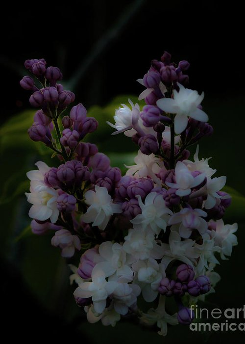 Lilacs Greeting Card featuring the photograph Lilacs by Ken Marsh