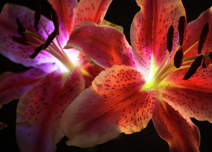Lilly Greeting Card featuring the photograph Lilly 001 by Bobby Villapando