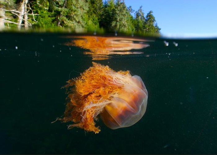Vancouver Island Greeting Card featuring the photograph Lions Mane Jellyfish Swimming by Paul Nicklen