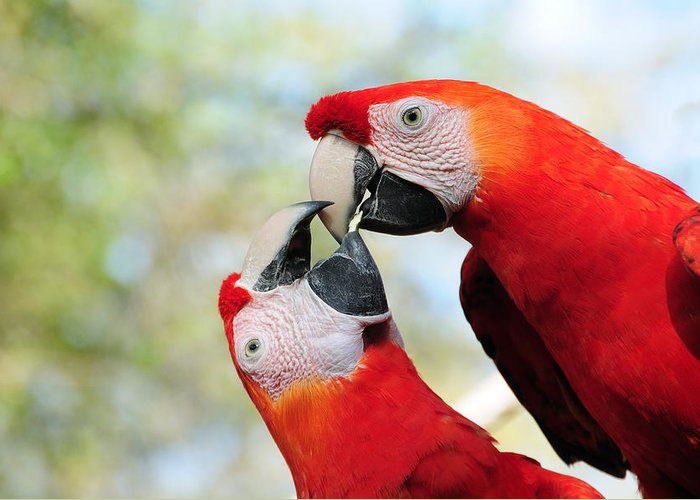 Bird Greeting Card featuring the photograph Macaws by Steven Sparks