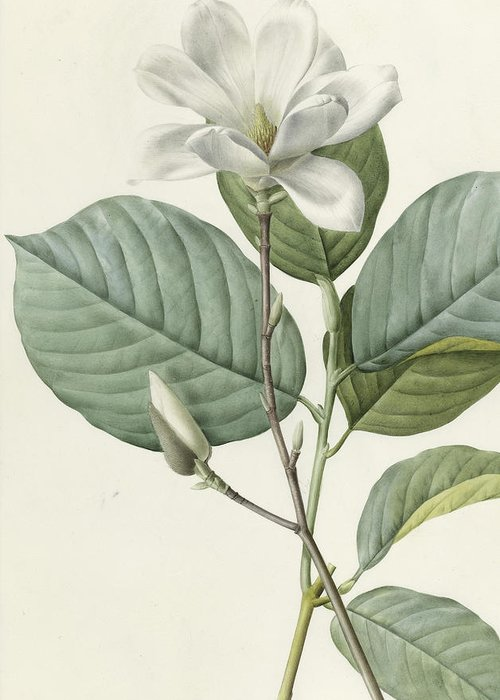 Magnolia Greeting Card featuring the painting Magnolia by Pierre Joseph Redoute