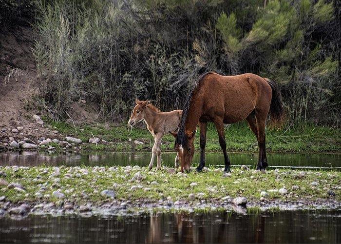Salt River Horse Greeting Card featuring the photograph Mother And Foal Wild Salt River Horses by Dave Dilli