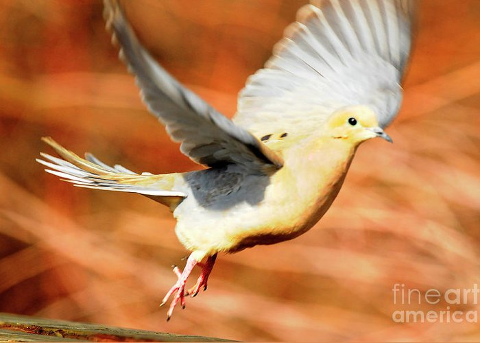 Bird Greeting Card featuring the photograph Mourning Dove by Dennis Hammer