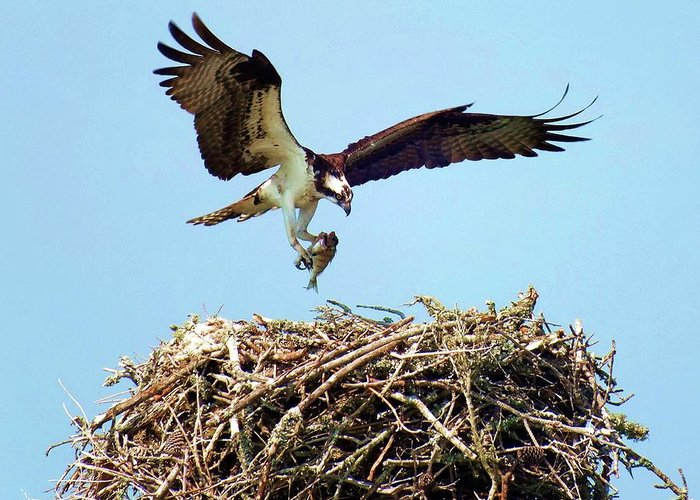 Osprey Greeting Card featuring the photograph Open Wings by Karen Wiles