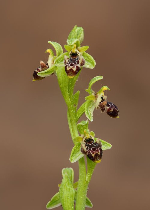 Ophrys Carmeli Greeting Card featuring the photograph Ophrys Carmeli by Yuri Peress