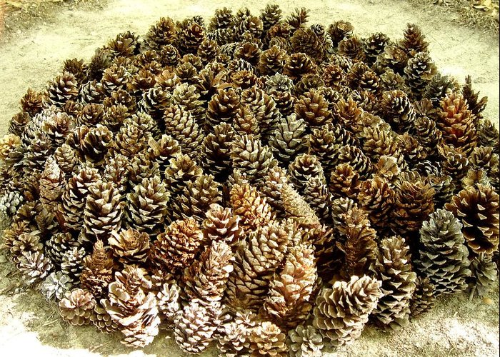 Pinecones Greeting Card featuring the photograph Organize Pinecones by Lizzie Johnson