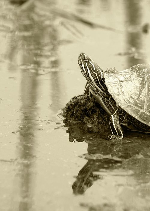 Western Painted Turtle Greeting Card featuring the photograph Painted Turtle On Mud In A Marsh by Robert Hamm