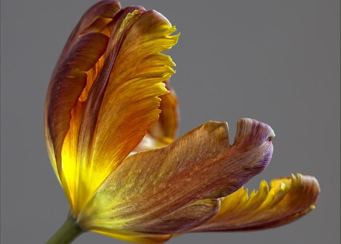 Flower Greeting Card featuring the photograph Parrot Tulip 21 by Robert Ullmann
