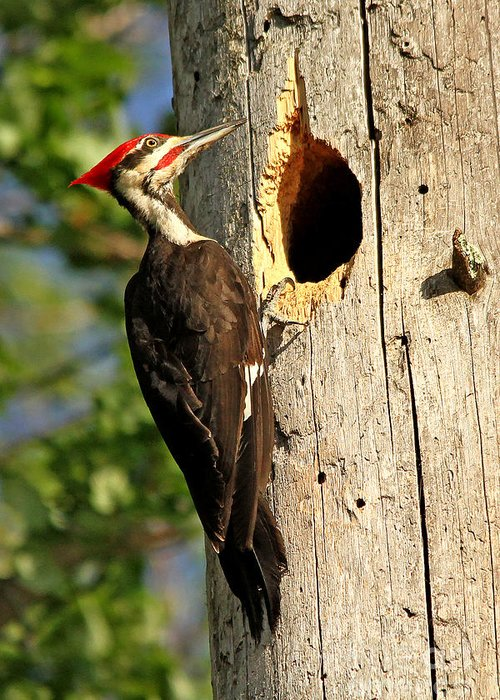 Woodpecker Greeting Card featuring the photograph Pileated #26 by James F Towne