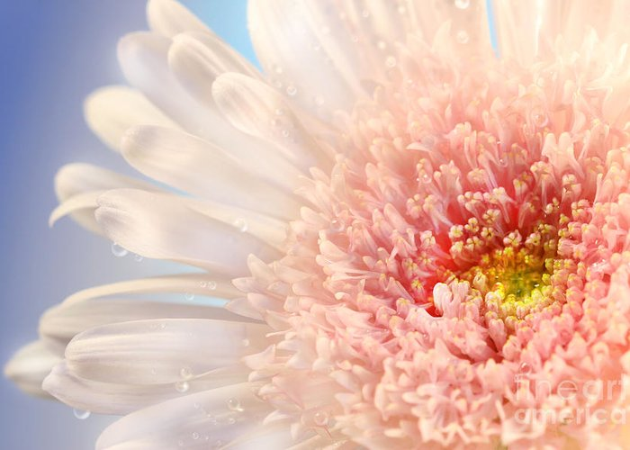 Anniversary Greeting Card featuring the photograph Pink Daisy by Sandra Cunningham