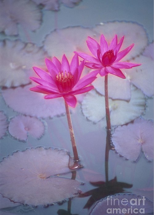 Anther Greeting Card featuring the photograph Pink Lily Blossom by Ron Dahlquist - Printscapes