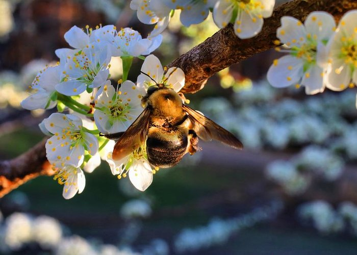 Plum Blossoms Greeting Card featuring the photograph Plum Full Of Bees by Kathryn Meyer