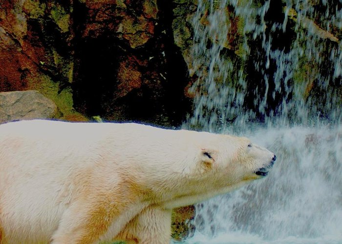 Polar Bear Greeting Card featuring the photograph Polar Bear by Misty VanPool