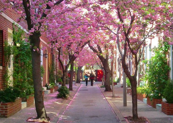 Cherry Blossom Greeting Card featuring the photograph Prettiest Street In Philadelphia by Andrew Dinh
