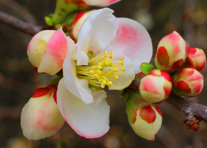 Quince Greeting Card featuring the photograph Quince Toyo-nishiki by Kathryn Meyer