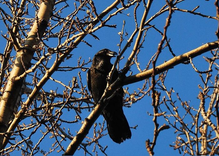 Raven Greeting Card featuring the photograph Raven by Marilynne Bull