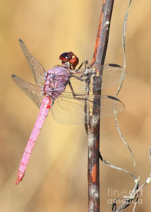 Dragonfly Greeting Card featuring the photograph Red Dragonfly Portrait by Carol Groenen
