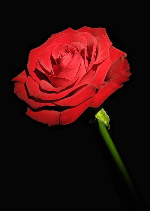 Rose Greeting Card featuring the photograph Red Rose On The Black Background by Arkadiusz Wlodarczyk